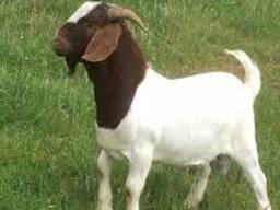 Boer Goat Whole Blood / 100% Mature Pure Blood Boer Goat
