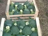 Броколли из Узбекистана - photo 2