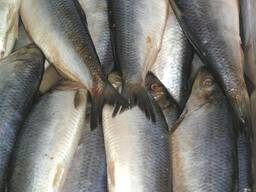 Дальневосточная замороженная рыба - фото 6