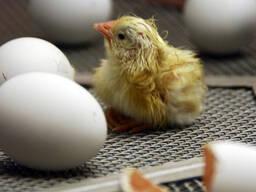 Инкубационные яйца бройлеров Кобб 500 и Росс 308