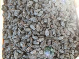 Изюм из Узбекистана