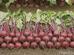 Компания ООО Агроконтинент предлагает Семена красной свеклы