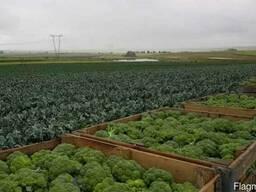 Компания ООО Агроконтинент предлагает Семена брокколи