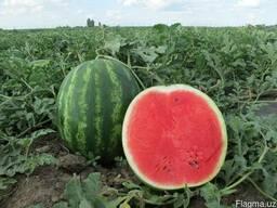 Компания ООО Агроконтинент предлагает семена арбуза