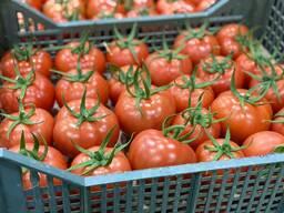 Красные помидоры из Узбекистана (Trovanzo)