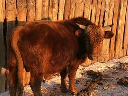 КРС, Бычки, мясо, мал, говядина, бык, быки
