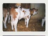 КРС с родословной и без (Польша, Германия), мясная/молочная, молочная, мясная - фото 1