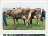 КРС с родословной и без (Польша, Германия), мясная/молочная, молочная, мясная - фото 2