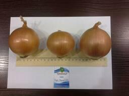 Лук репчатый/Onion