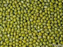 Маш (Mung bean)