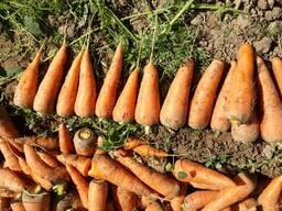 Морковь новый уражай из солнечного Узбекистана