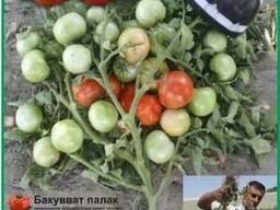ООО Агроконтинент предлагает семена детерминантных томатов
