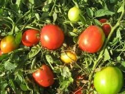 ООО Агроконтинент предлагает семена детерминантные томаты