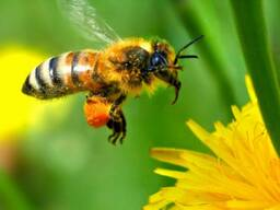 Пчелы Карпатка