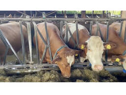 Продаем крупный рогатый скот с Европы