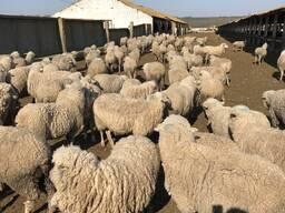 Продаем овец с Украины