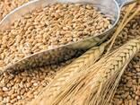 Продам пшеницу 3-4-5 класса - photo 1