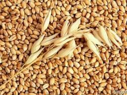 Пшеница 2,3,4,5 класс