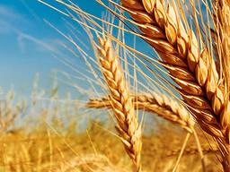 Пшеница 2 класс