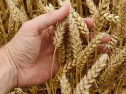 Пшеница 3 класс, 4 класс