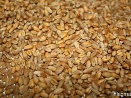 Купим пшеницу 4-5 класс
