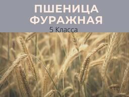 Пшеница Фуражное