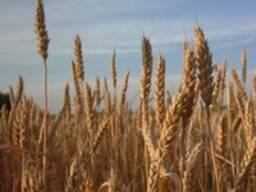 Пшеница мягкая 3, 4, 5 класс, ячмень, отруби