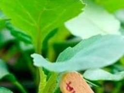 Саженцы цветная капуста, огурцы, помидоров, перец в ассортим - фото 2