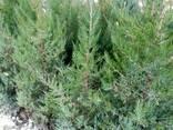 Саженцы декоративных деревьев - фото 4