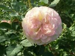 Саженцы роз - photo 2