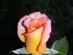 Саженцы роз - photo 3