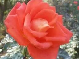 Саженцы роз - photo 4