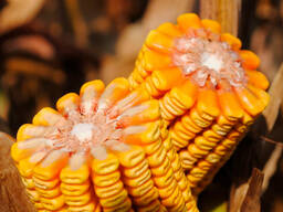 Семена кукурузы LG 30.500 - ФАО 540