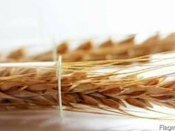 Семена пшеницы, ячменя, рапса, кукурузы, подсолнечника, сои