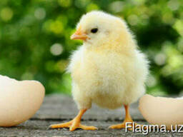 Суточные / однодневные цыплята кур несушки оптом и экспорт