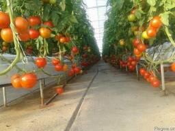 Свежие помидоры - фото 4