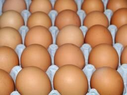 Яйцо для инкубации цыплят бройлеров сорта ROSS 308
