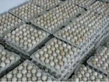 Яйца куриные инкубационные бройлер Ross-308 - photo 1