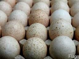 Яйцо индюшиное. Белые бройлерные индюшата.