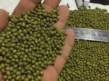Зеленый мунг маш , фасоль, нут из Узбекистана - фото 1